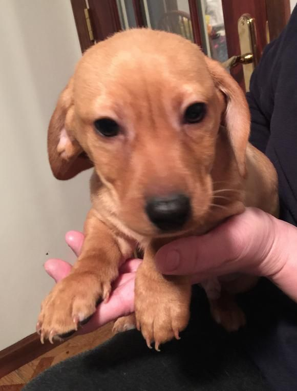 Adopt Sebastian 'Bash' on Dachshund rescue, Dachshund