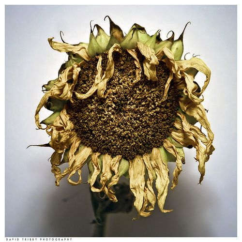 Dying Sunflower Tattoos Pinterest Sunflowers And Tattoo