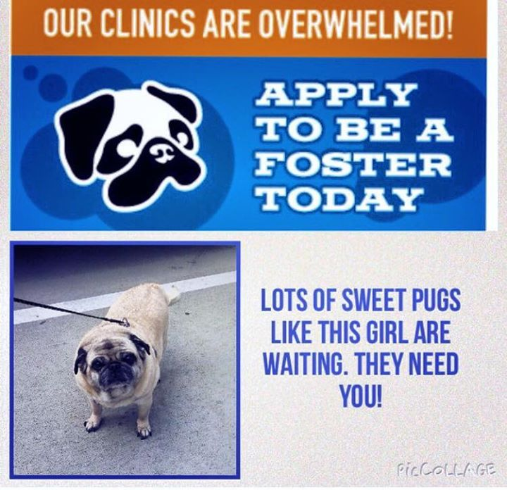 Dfw Pug Rescue Is In Need Of Foster Homes It Is Impossible To