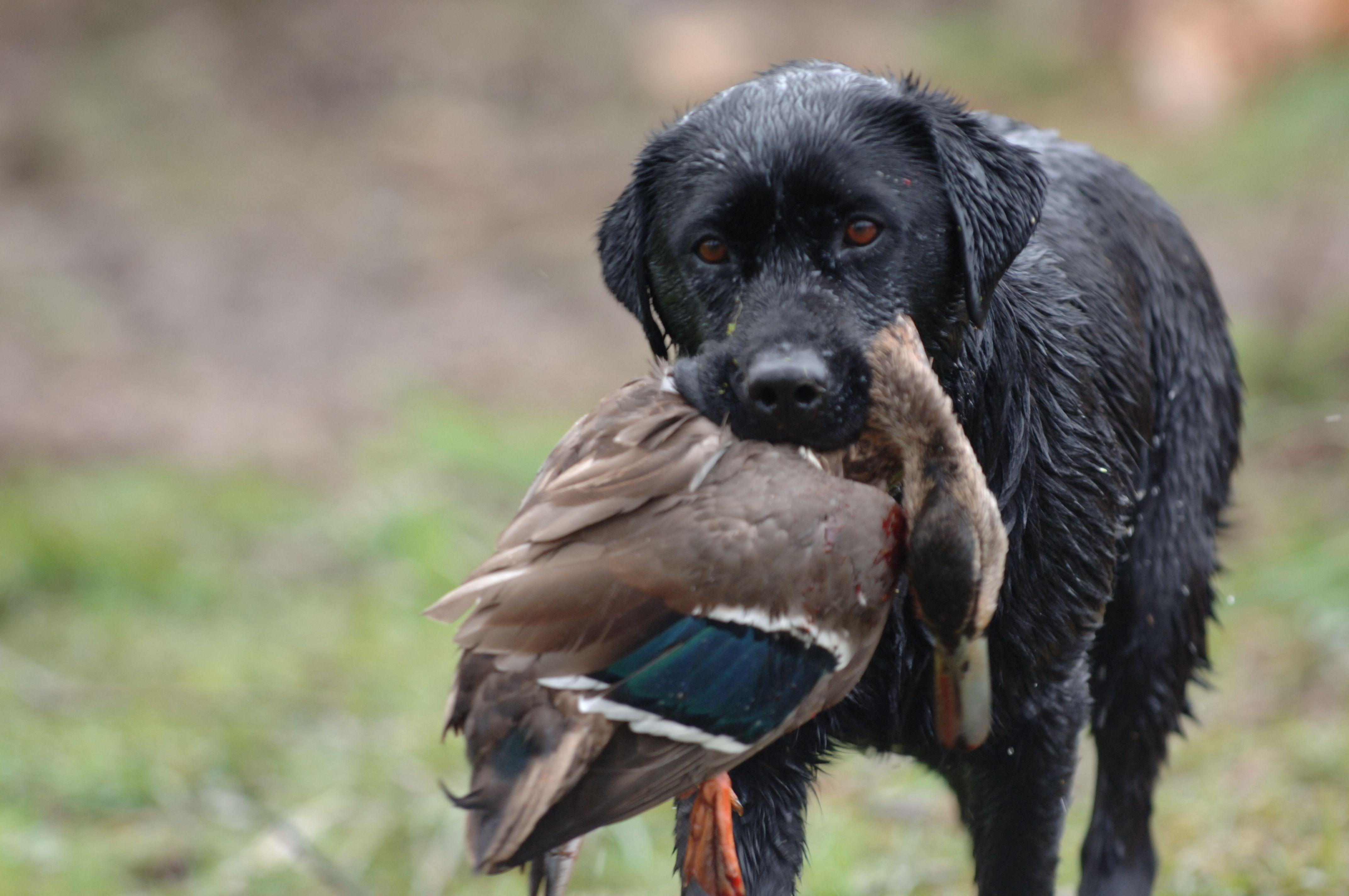black lab Hunting, Chocolate labrador, Duck hunting