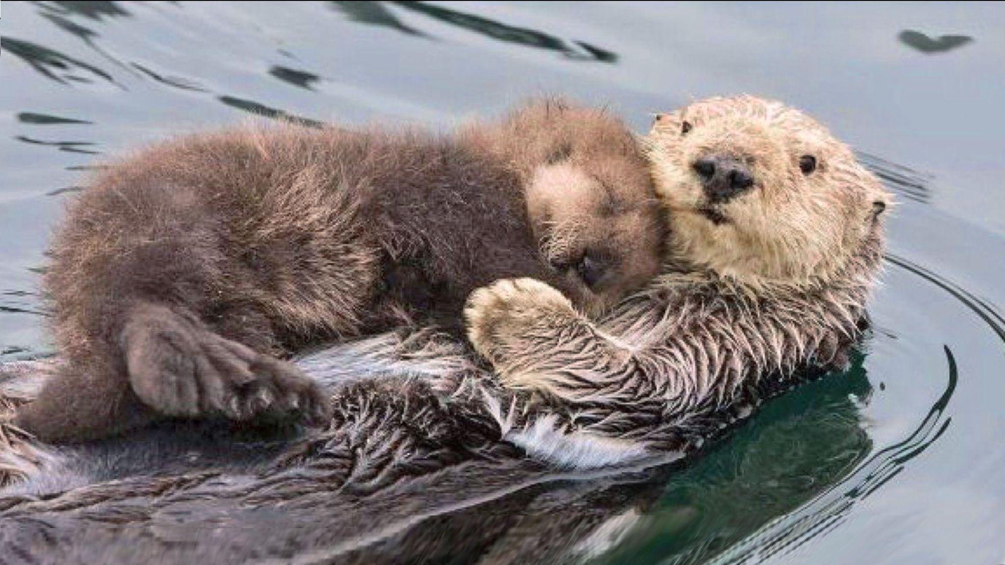 Sea Otter Cradling Her Sleeping Baby