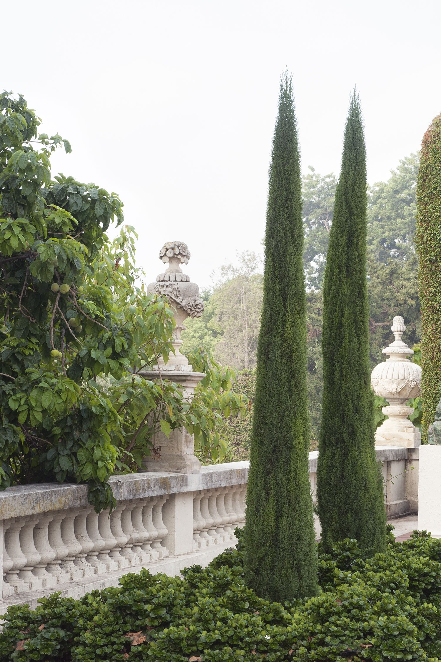 Garden trees for screening  Tiny Tower Italian Cypress  Monrovia  Tiny Tower Italian Cypress