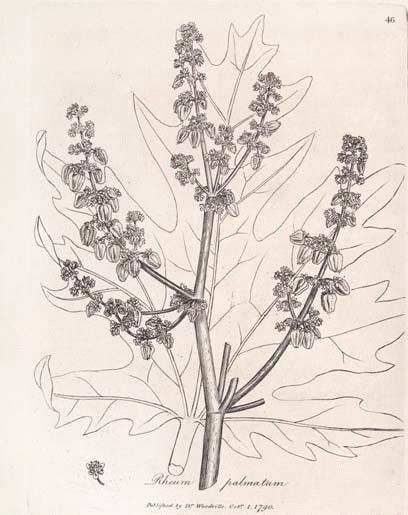 Turkey Rhubarb Rheum Palmatum Herbarium Materia Medica To Come