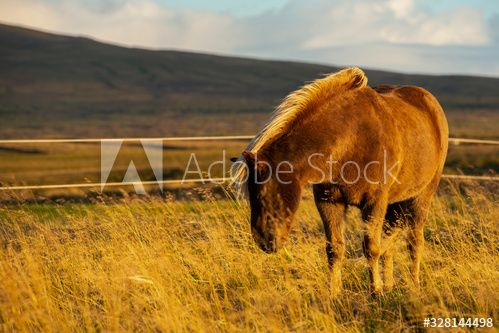 Iceland Horse in the late afternoon fall light out in the pasture of Iceland farmland , #sponsored, #late, #afternoon, #Iceland, #Horse, #pasture #Ad
