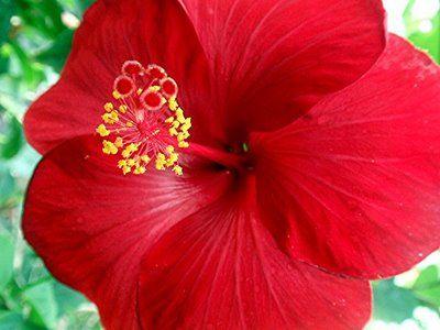 Maga Flower National Flower Of Puerto Rico Caribbean