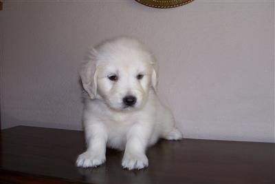 10 Week Old English Creme Golden Retriever Puppies For Sale 2