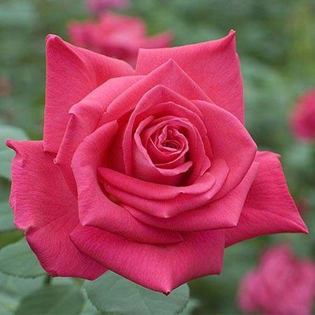 rosier tige 39 lolita lempicka 39 meizincaro rosier meilland roses lolita lempicka rose et. Black Bedroom Furniture Sets. Home Design Ideas