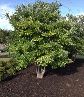 Sweetbay Magnolia Is A Large Shrub Or Small Tree That Thrives On