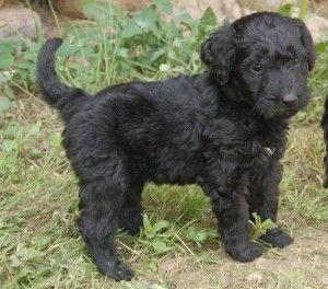 Black Goldendoodle Puppies Goldendoodle Puppy Goldendoodle Black