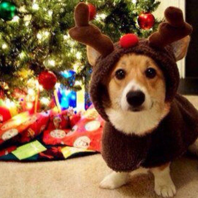 corgi christmas lol im getting this next year for booger - Corgi Christmas