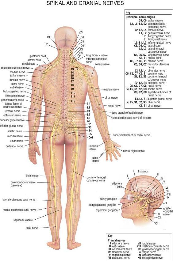Detailed View Of The Major Nerves In Your Body Health And Body
