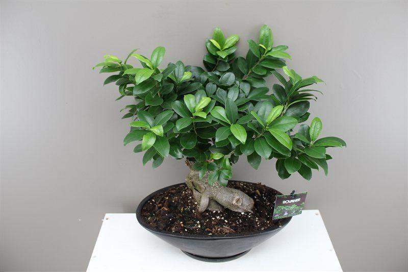 Banyan Fig Bonsai In Ceramic Planter Ficus Ginseng Bonsai Plants Ficus Bonsai Making