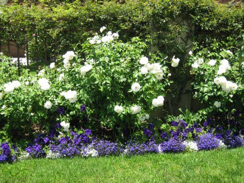 White Iceberg roses and blue and white Lobelia very