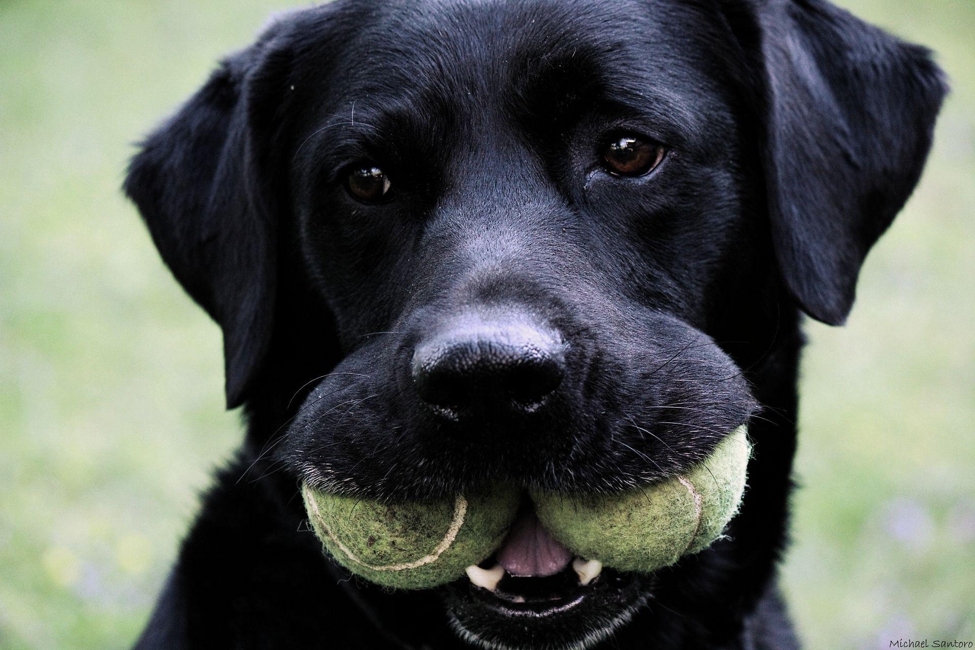 Adorable) (With images) Labrador retriever, Labrador dog