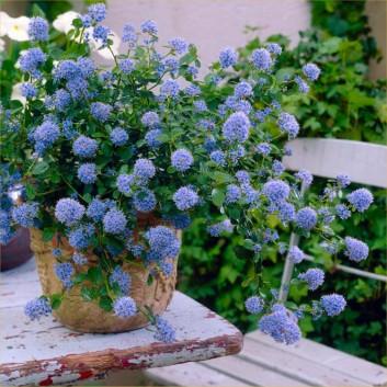 Ceanothus Thyrsiflorus Repens Californian Lilac Large Plant Garden Plants In 2020 Lilac Gardening Plants Garden Plants Uk
