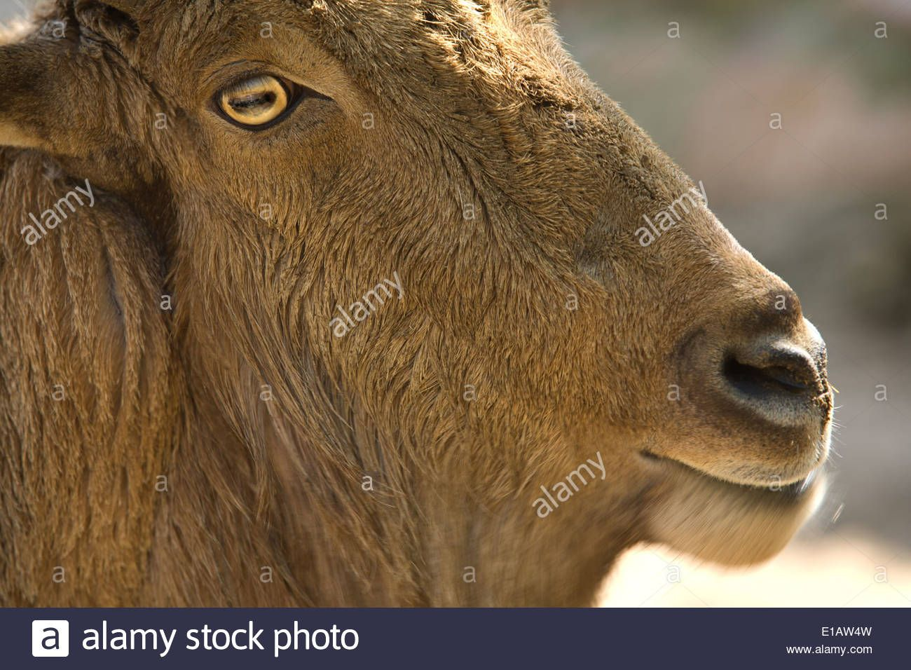 Pin by Nathan Winterland on Aoudad Animals, Photo, Panther
