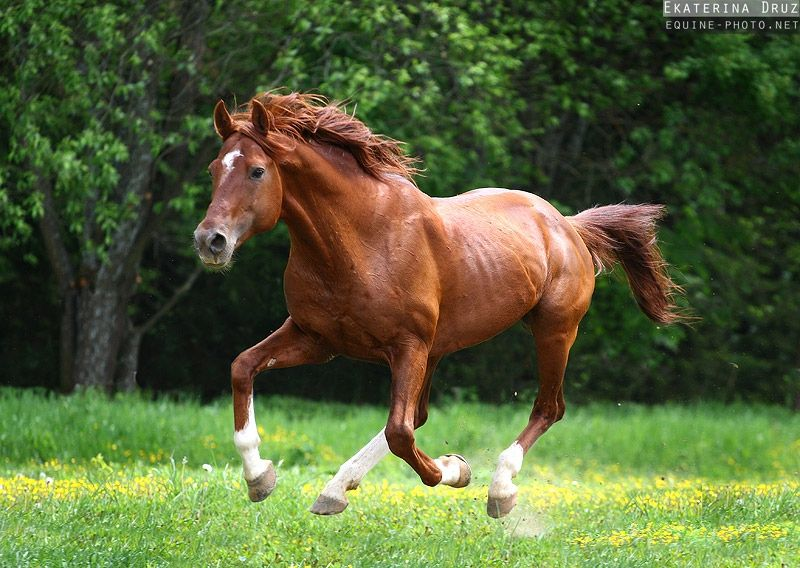Chestnut horse running - Equine Photography by Ekaterina ...