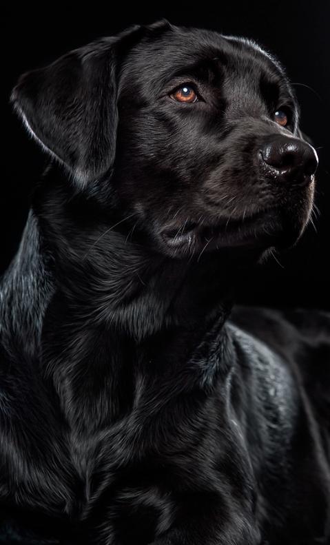Photo of #Labrador negro hermoso © Alexander Heinrichs | 500px.com | #Labrador…
