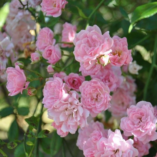 Rosier de banks rosea rosa banksiae jardin - Rosier grimpant sans epine ...