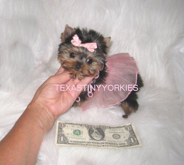 Xxxxremely Tiny Micro Teacup Yorkie 2 Lbs Maturity Www Texastinyyorkies Com Teacup Yorkie Yorkie Yorkie Puppy