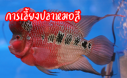 การเล ยงปลาหมอส ปลาหมอส ส ตว