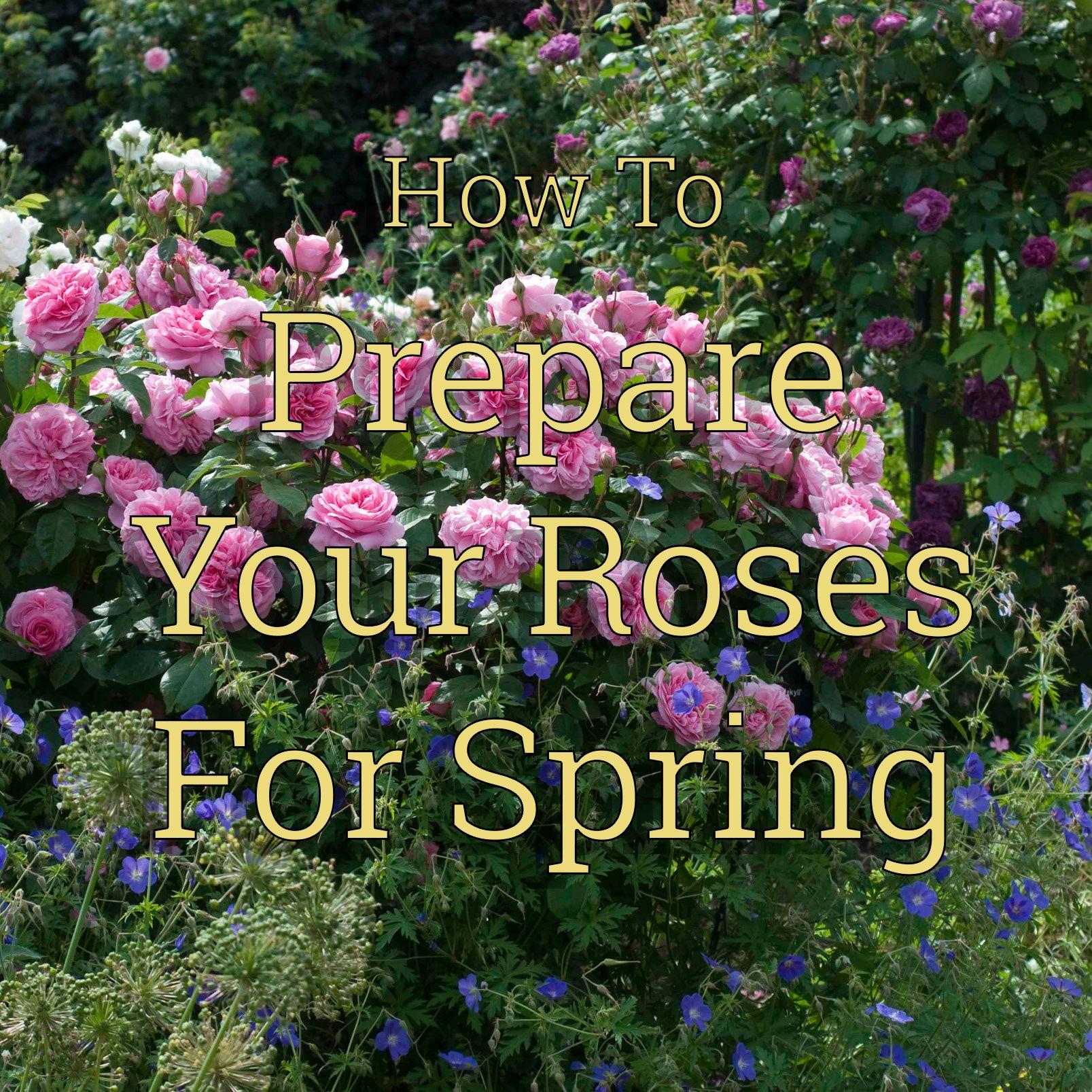 How To Prepare Your Roses For Springtime Rose Care Rose Garden Landscape Flower Landscape