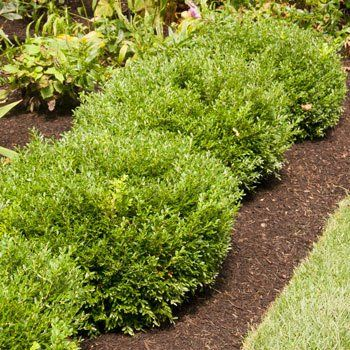Superior Evergreen Trees Landscaping Evergreens Fast 400 x 300
