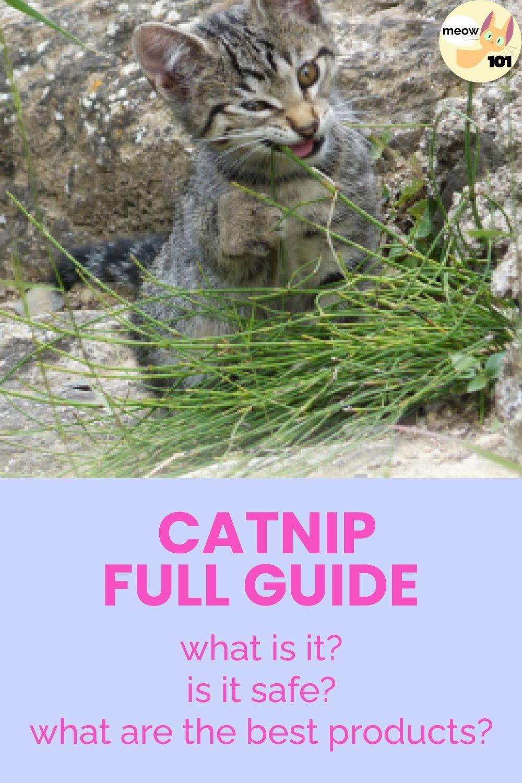 Catnip Full Guide Cats Catnip Cat Health