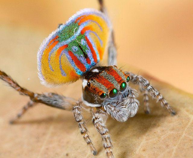 _MG_8428 (2) peacock spider Maratus volans by Jurgen Otto, via Flickr