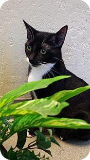 Burmese Cat For Adoption In Phoenix Arizona Sylvia 2 5 Yrs Old