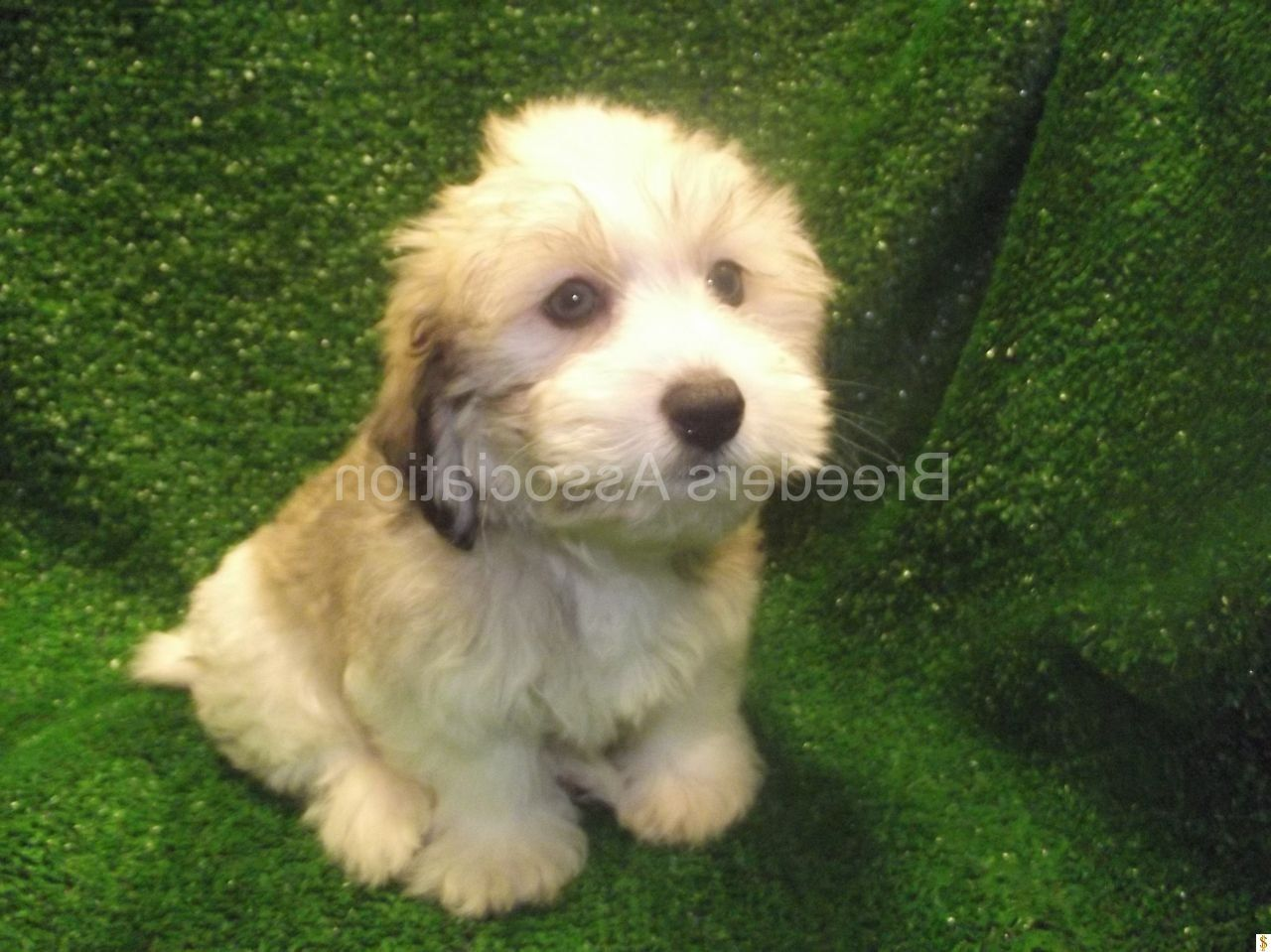 Black Havanese Puppies For Sale Wallpaper The Witty Dog Puppies Havanese Puppies Cute Puppies