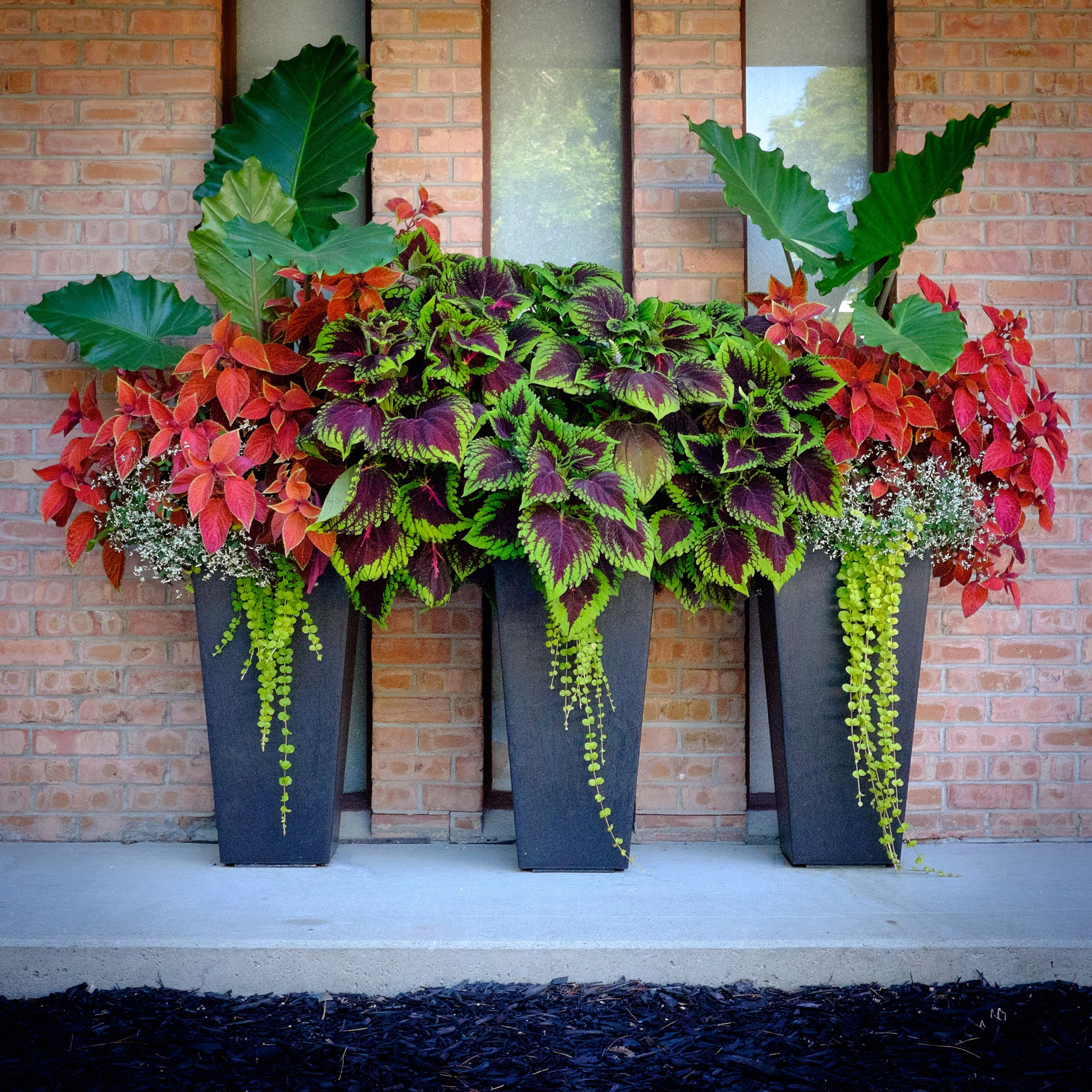 Tapered Pots On Our Front Porch Coleus Elephant Ears Creeping