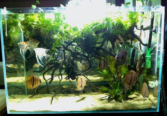 Aquascape Idea With Symphysodon Discus Heckel Discus Amp Pterophyllum Scalare Altum Sp Santa Isabel ディスカス 水槽