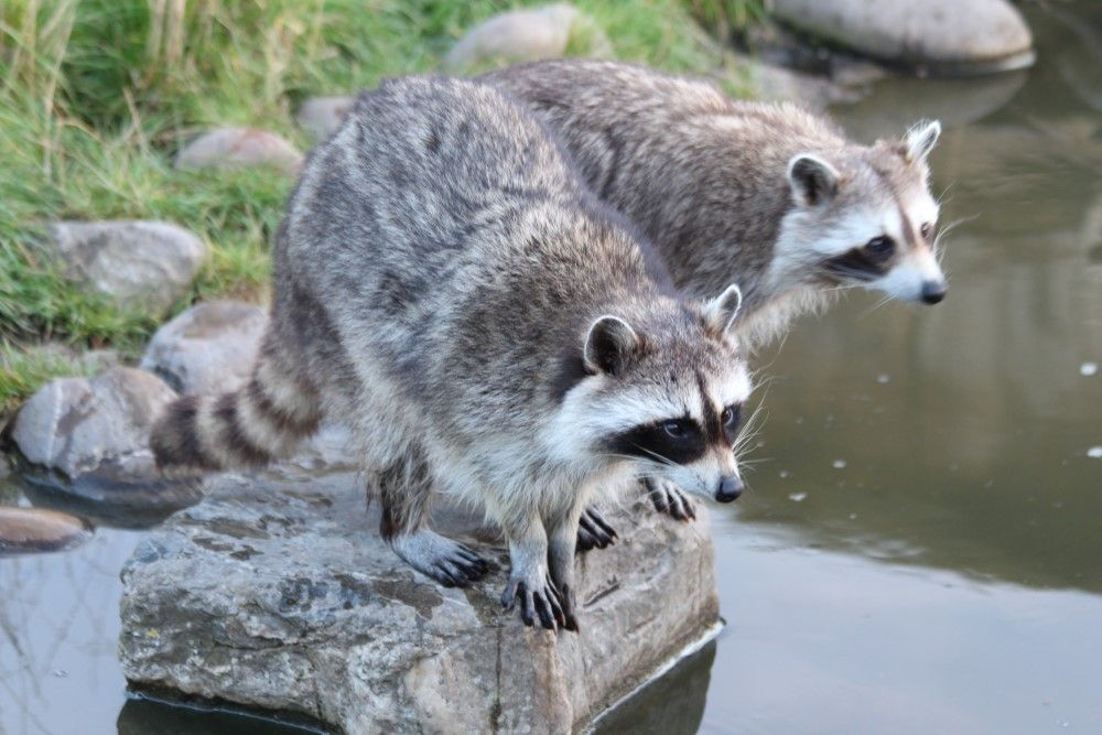 #Wasbeer #Raccoon  #Blijdorp
