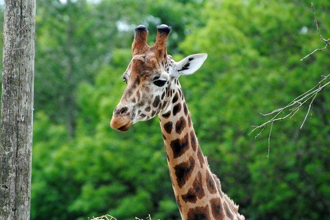 The Gorgeous Giraffes Of The African Savannah