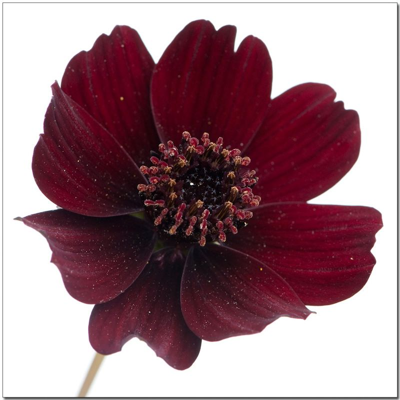 Chocolate Cosmos Flower Flower Meanings Pictures And Photos Bright Wedding Flowers Lavender Wedding Flowers Orange Wedding Flowers