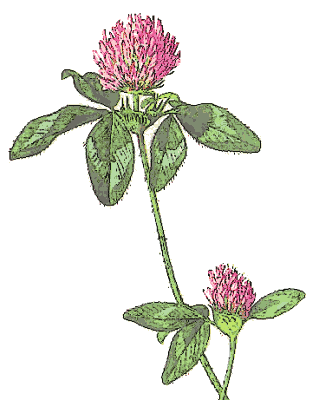 Weight loss red clover