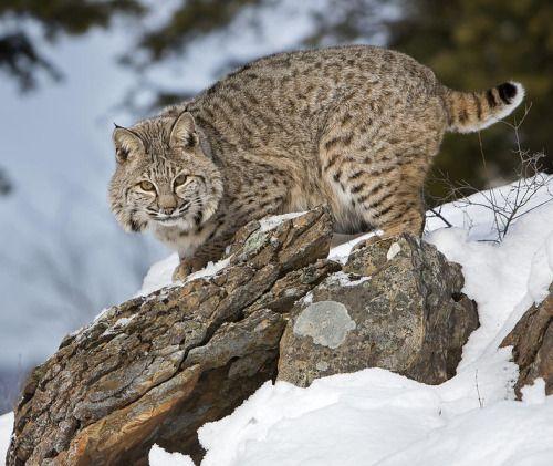 beautiful-wildlife:  Bobcat In WinterbyJack Bell