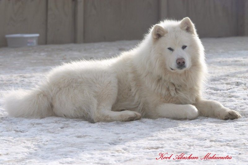 All White Alaskan Malamute Glacier Is An All White Very Large