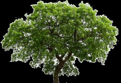 English Oak Tree Transparent Background Tree Images Tree Plants