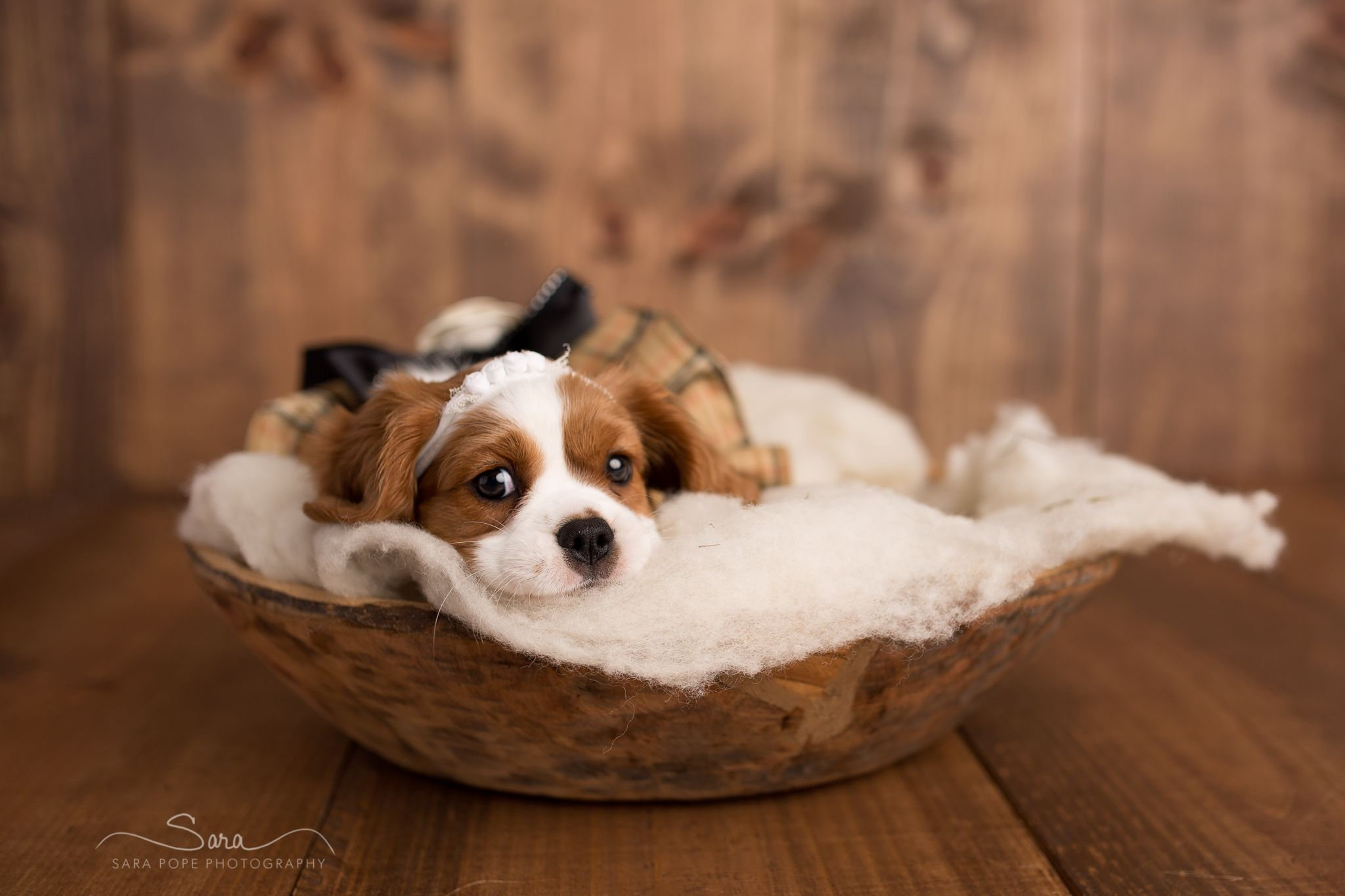 Cavalier King Charles Spaniel Puppy portraits photos.  Sara Pope Photography, Brentwood, CA.  Eight week old Emme <3