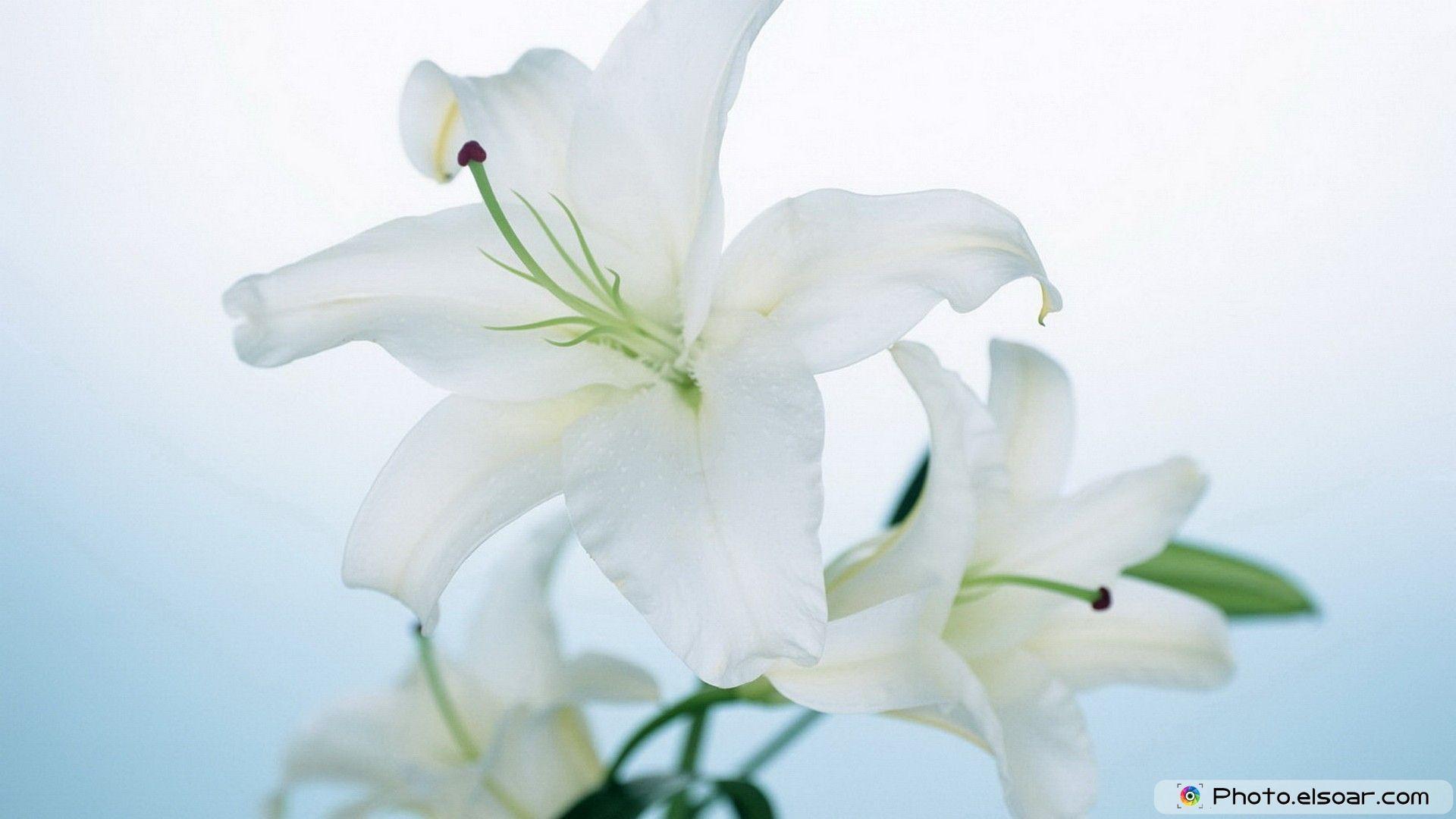 Beautiful white flowers flower wallpaper hd wallpapers pinterest beautiful white flowers flower wallpaper izmirmasajfo