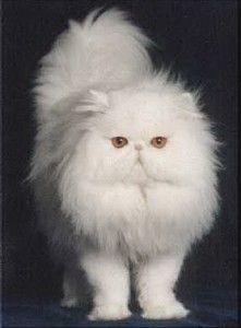My White Persian Kitty Tupoc Beautiful Cats Persian Cat White Cats