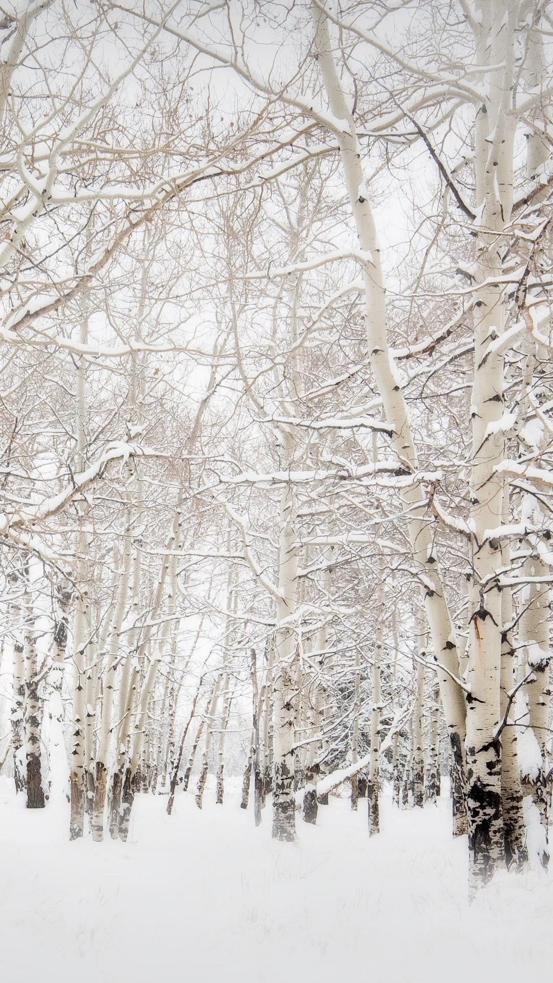 Birch trees in the winter stock photo image 2170700 - Snow Birch Forest Near Sea Stock Photo Dr Pas 6415491