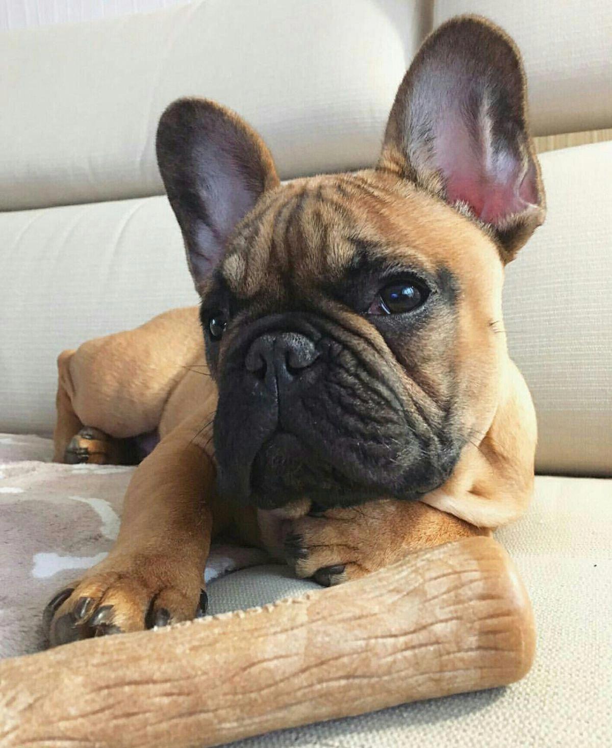 French Bulldog Playful and Smart Bulldog, Francia