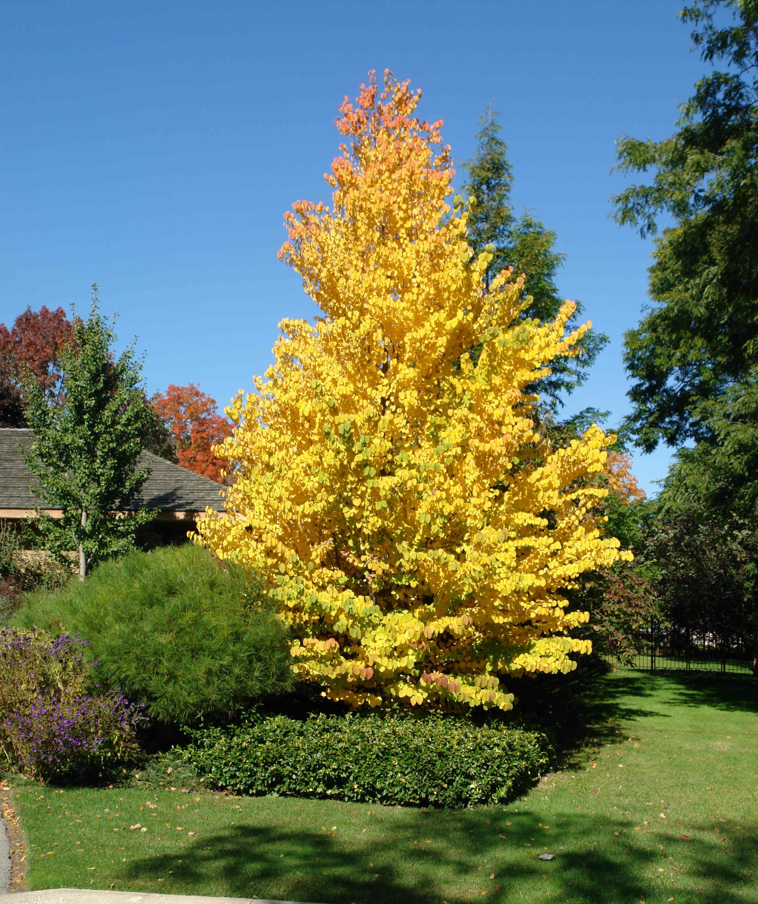 Cercidiphyllum Katsura Tree Fall Color