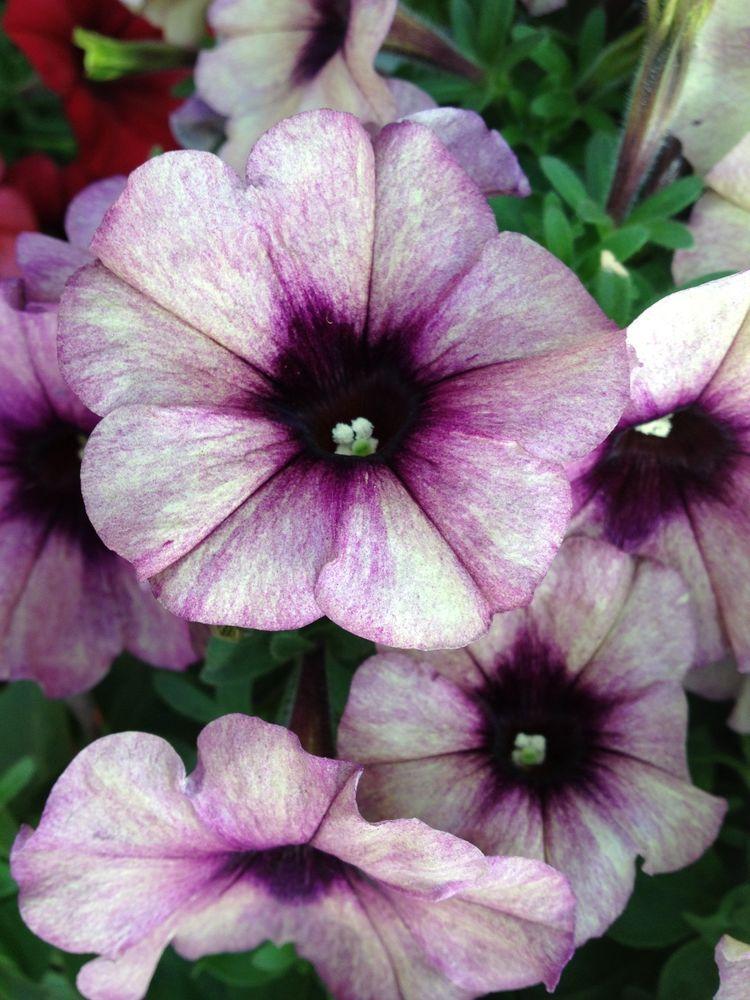 1 Petunia Crazytunia Twilight Blue Live Starter Plant Plugs Home Planters 215 Petunia Flower Petunias Plants