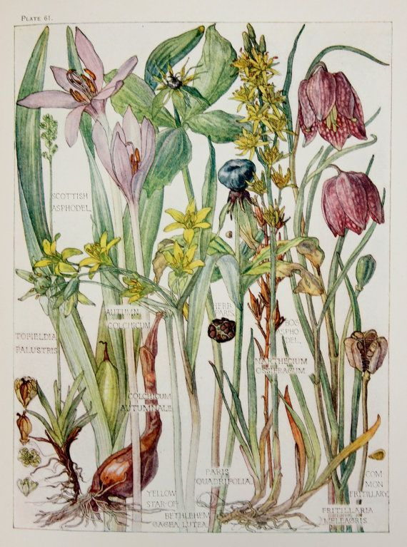1910 Botanical Print by H. Isabel Adams Lily by PaperPopinjay, $15.00: