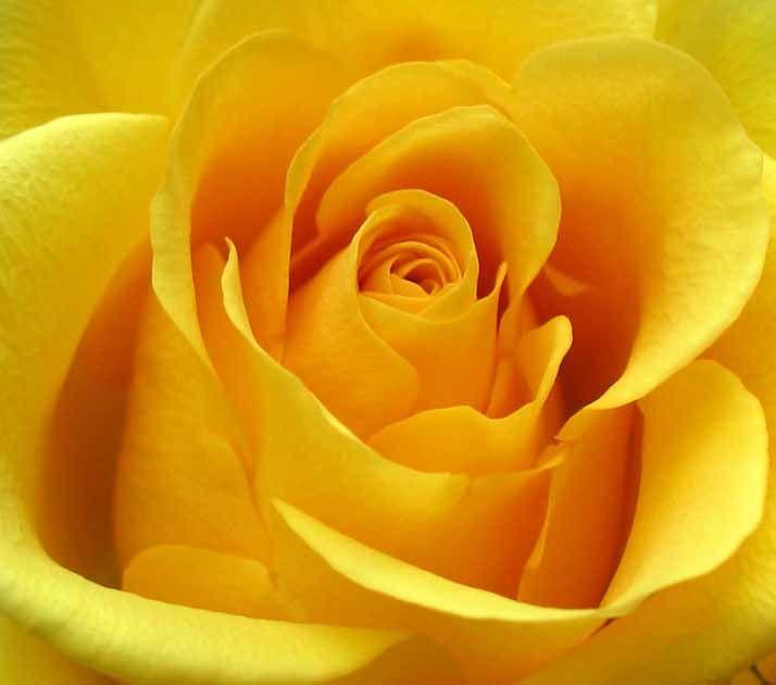 Yellow Roses Yellow Roses