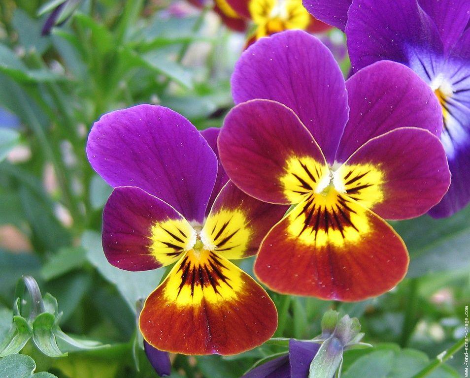 Belles images de PENSEES (fleurs)